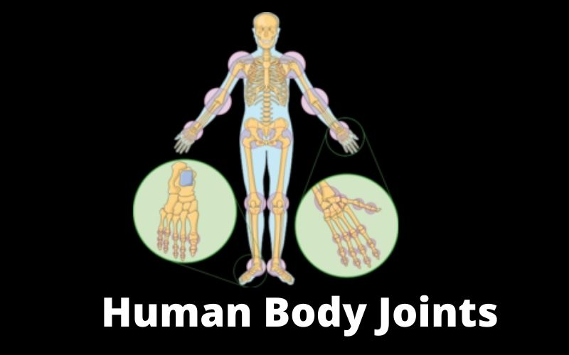Human Body Joints